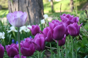 Love the single lavender tulip